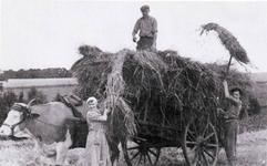 """Einfahren der """"Frooch"""" (Frucht) in Mailahn ca. 1942 mit einem Leiterwagen."""