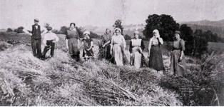 Rapsernte in Hausen vor dem 1. Weltkrieg bei der Familie Heimann.