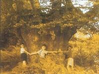 Appostelbuche mit siebeneinhalb Meter Umfang
